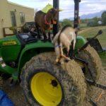 Zimmerman goats